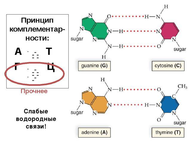 Принцип комплементар-ности: А Т Г Ц - - - - - - - - - - - - Слабые водородные...