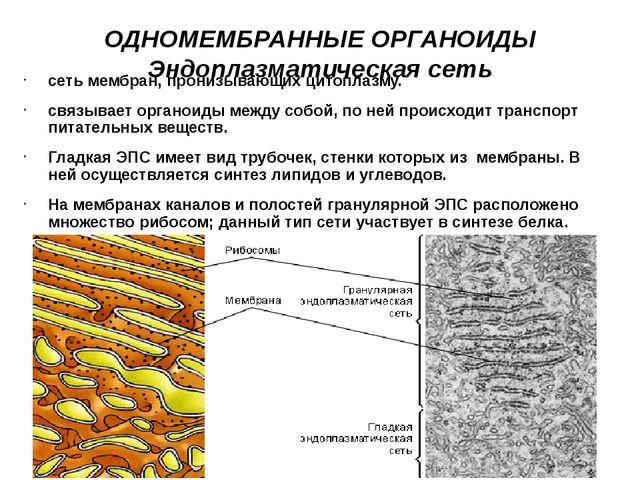 ОДНОМЕМБРАННЫЕ ОРГАНОИДЫ Эндоплазматическая сеть сеть мембран, пронизывающих...