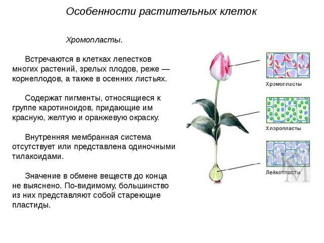 Хромопласты. Встречаются в клетках лепестков многих растений, зрелых плодов,...