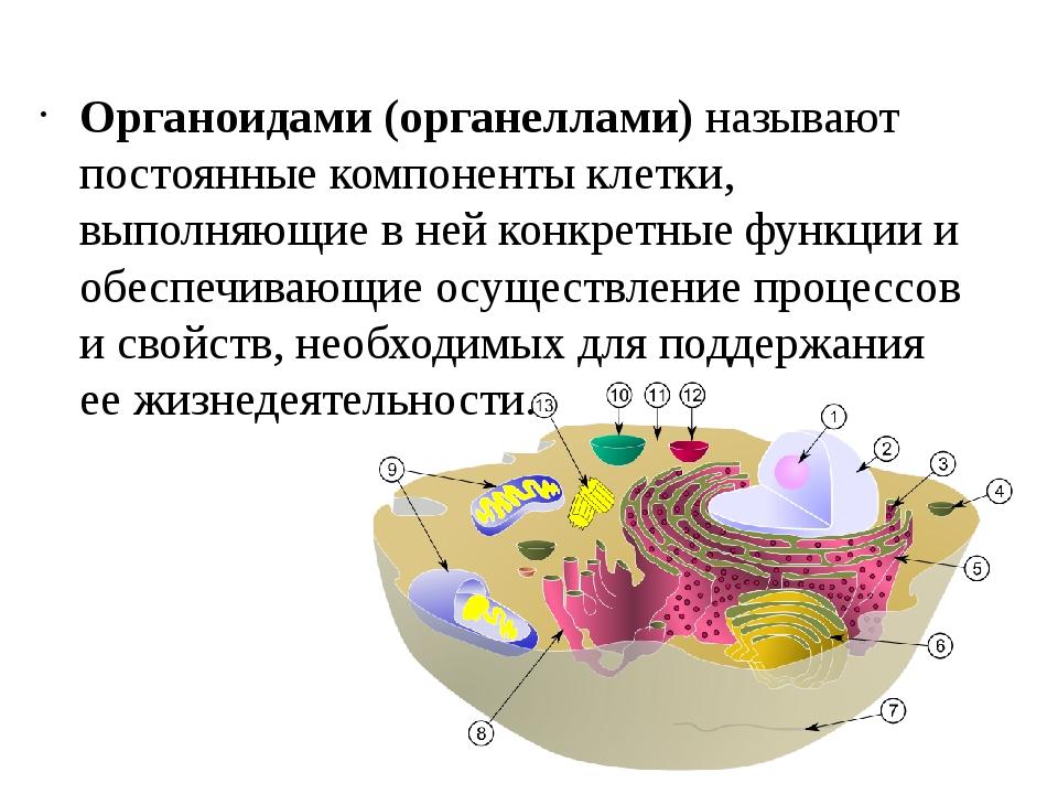 Органоидами (органеллами) называют постоянные компоненты клетки, выполняющие...