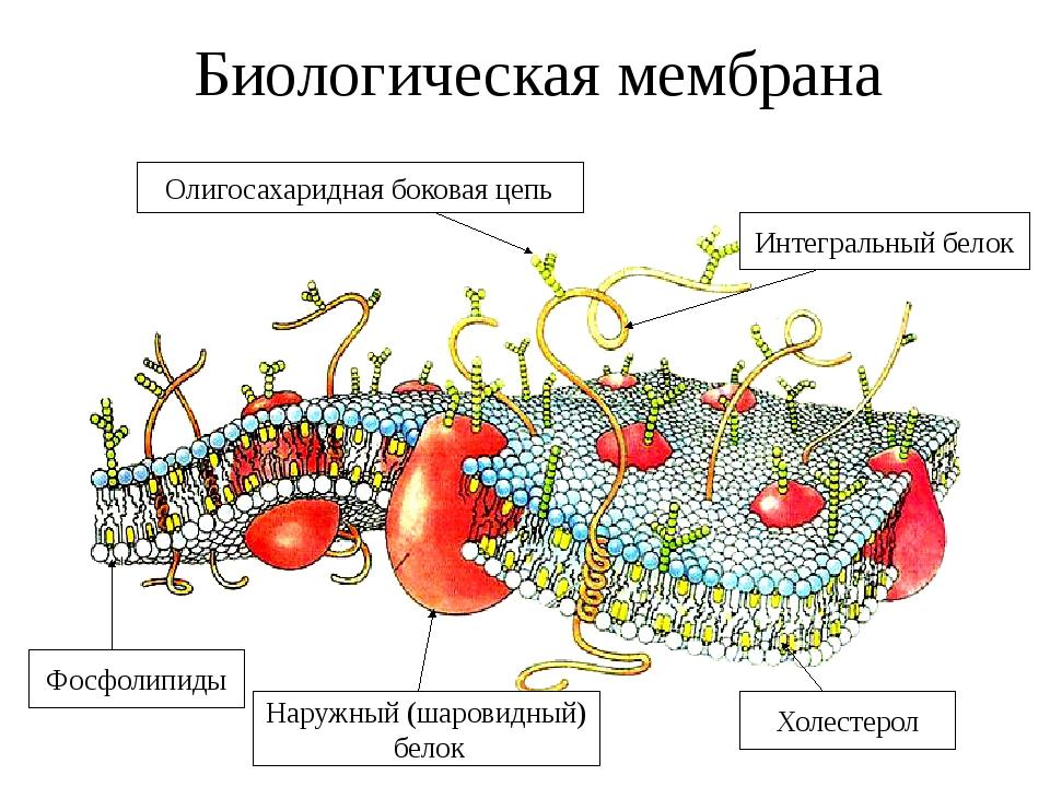 Биологическая мембрана Олигосахаридная боковая цепь Интегральный белок Фосфол...