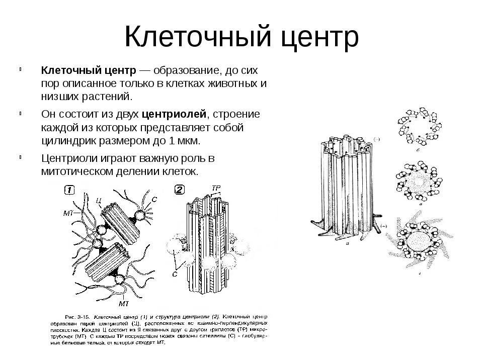 Клеточный центр Клеточный центр— образование, до сих пор описанное только в...