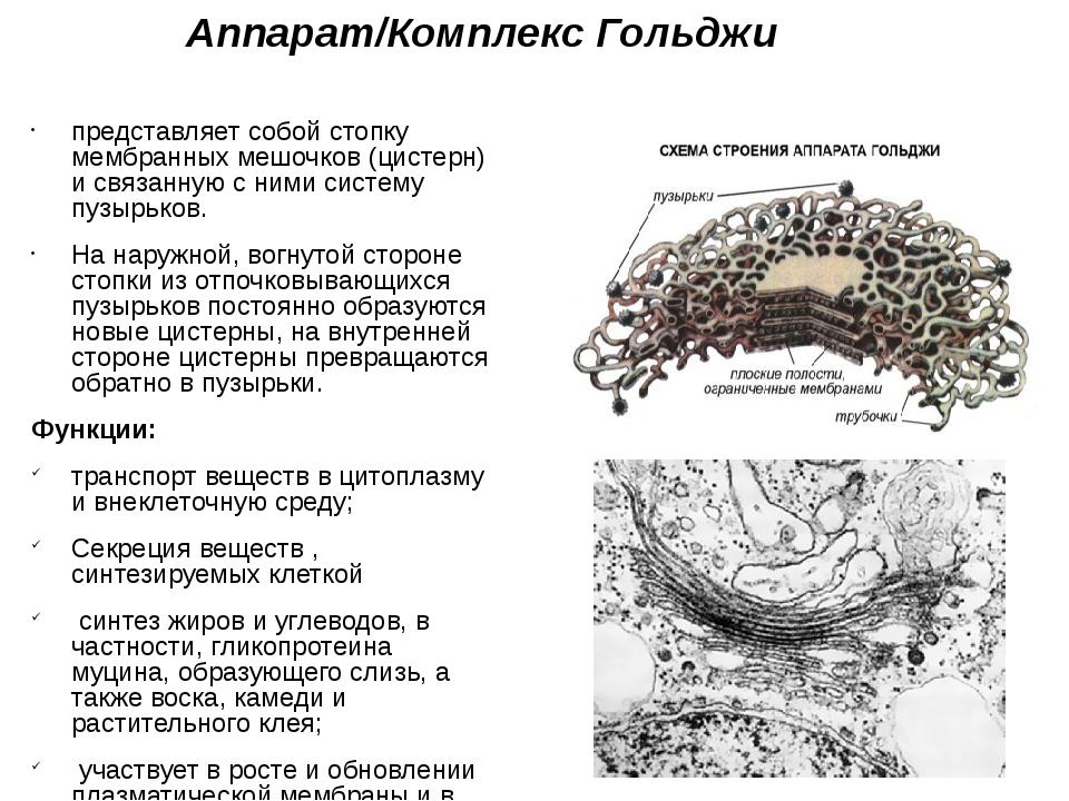 Аппарат/Комплекс Гольджи представляет собой стопку мембранных мешочков (цисте...