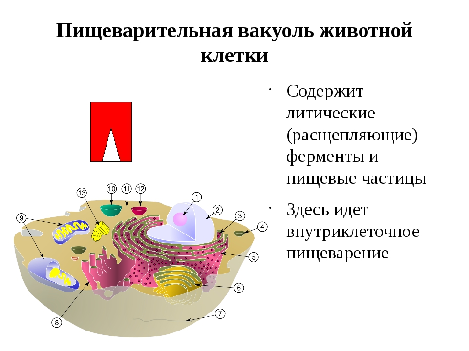 Пищеварительная вакуоль животной клетки Содержит литические (расщепляющие) фе...