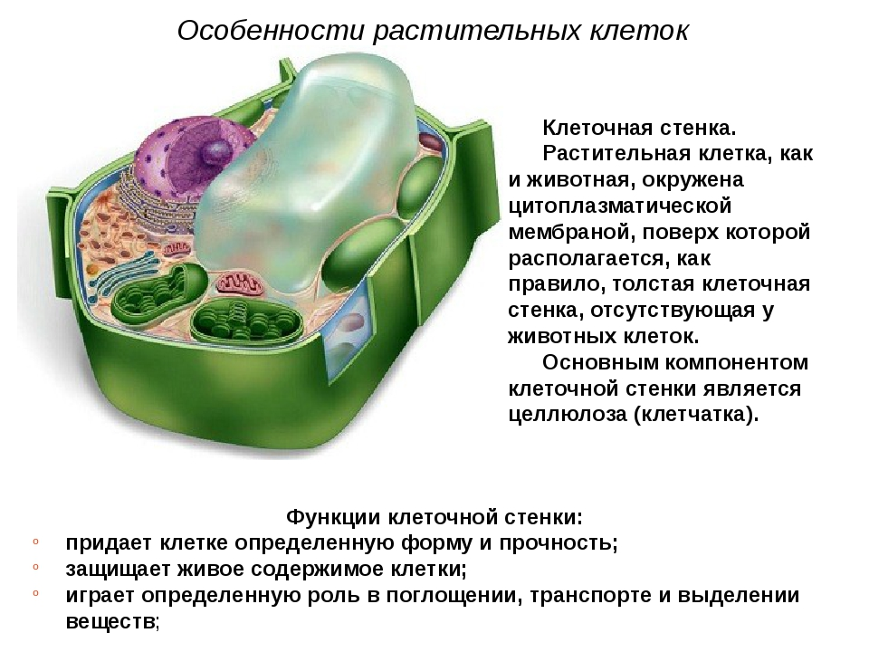 Клеточная стенка. Растительная клетка, как и животная, окружена цитоплазмати...