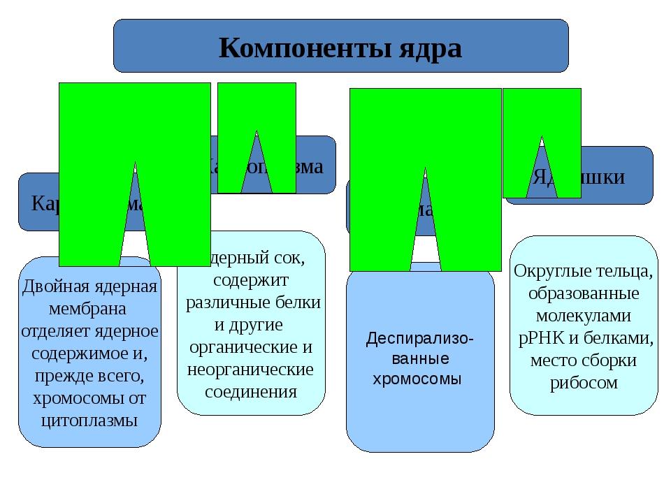 Кариолемма Кариоплазма Хроматин Ядрышки Компоненты ядра Двойная ядерная мембр...