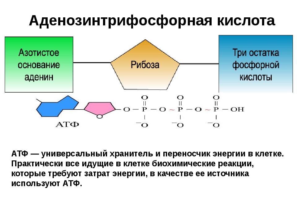 Аденозинтрифосфорная кислота АТФ АТФ — универсальный хранитель и переносчик э...