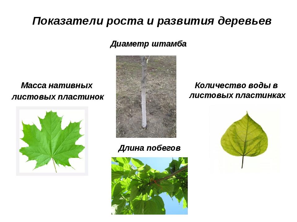 Показатели роста и развития деревьев Масса нативных листовых пластинок Диамет...