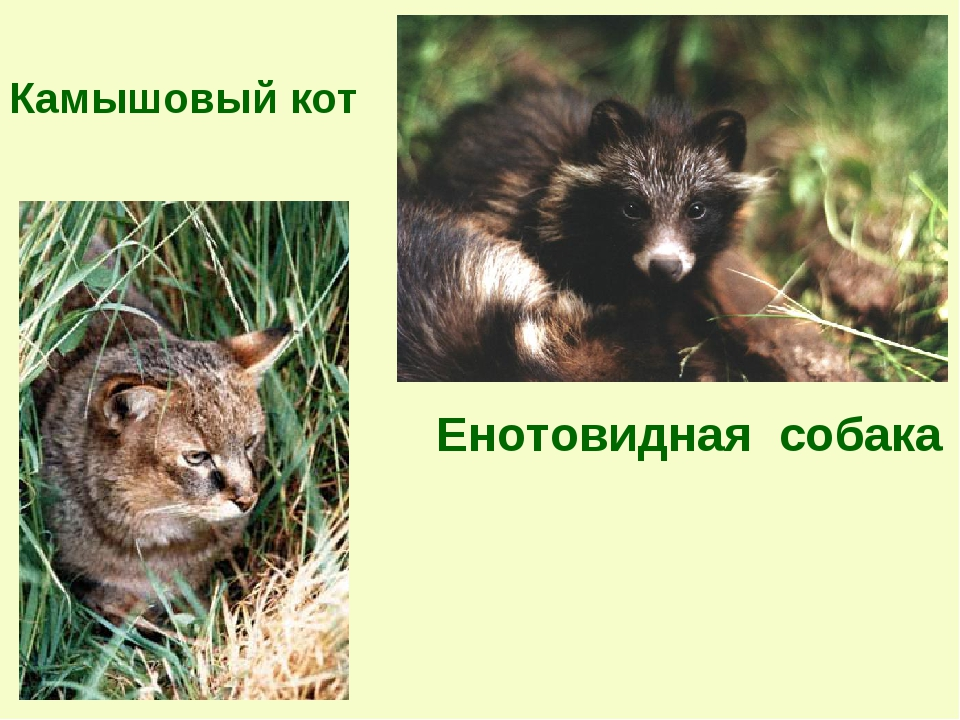 Камышовый кот Енотовидная собака