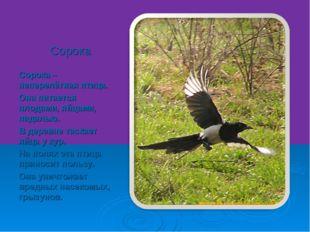 Сорока Сорока – неперелётная птица. Она питается плодами, яйцами, падалью. В