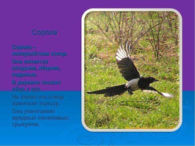Сорока Сорока – неперелётная птица. Она питается плодами, яйцами, падалью. В...