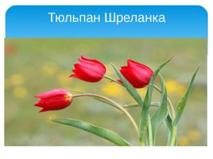 Тюльпан Шреланка