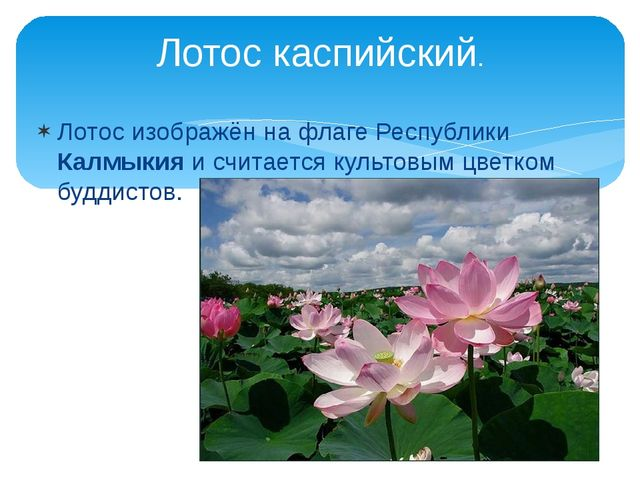 Лотос изображён на флаге Республики Калмыкия и считается культовым цветком бу...
