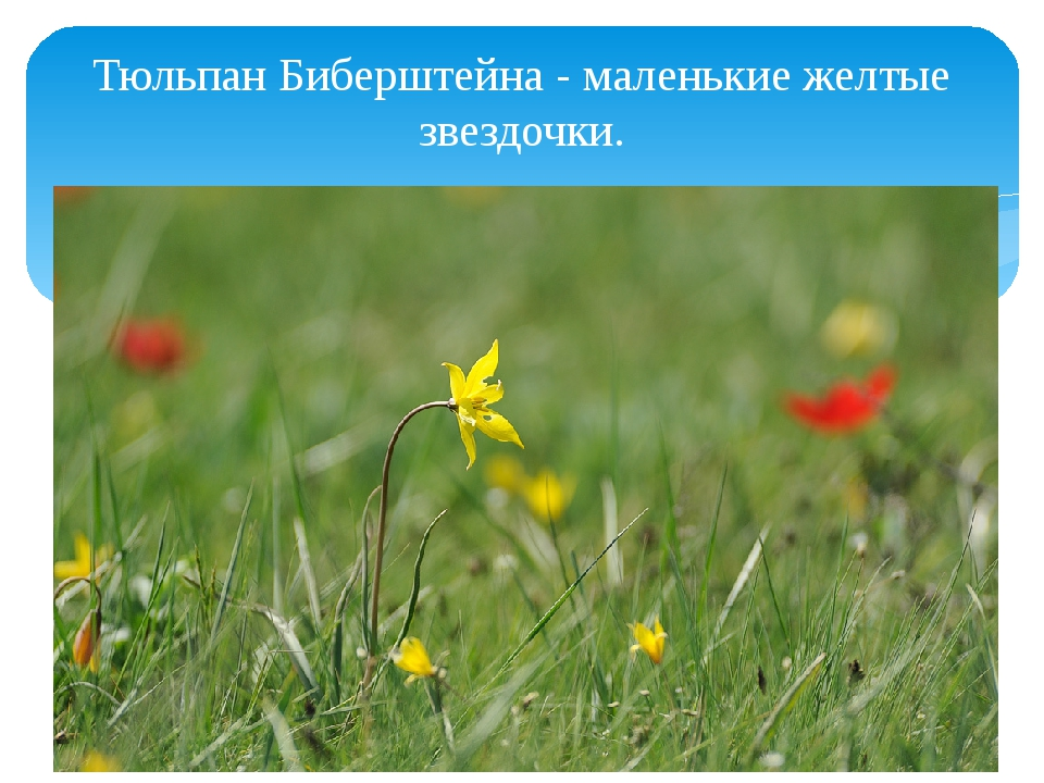 Тюльпан Биберштейна - маленькие желтые звездочки.
