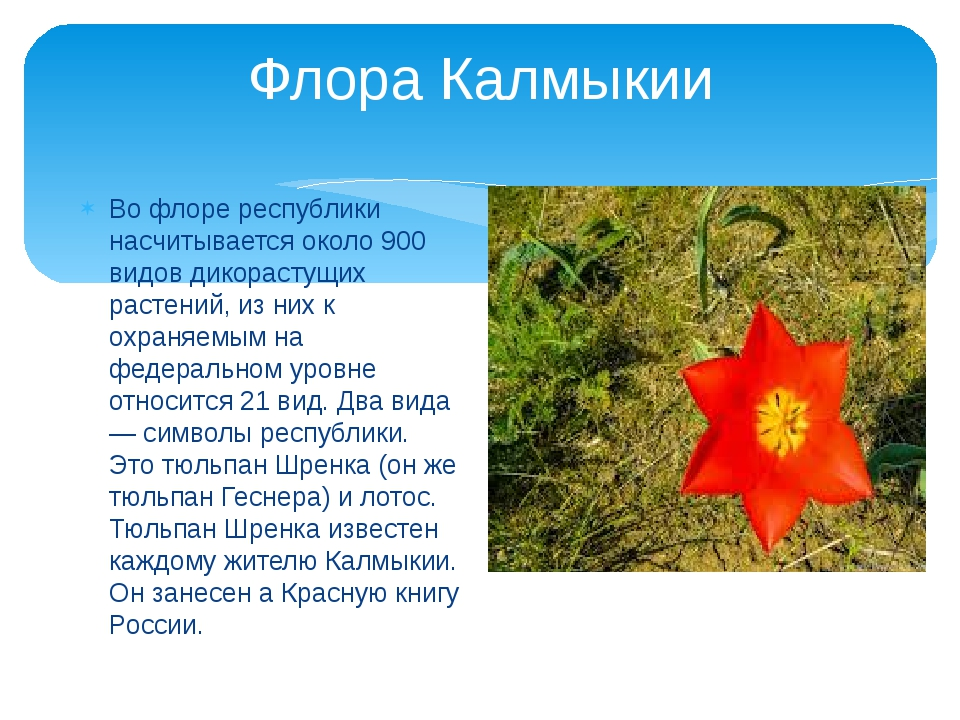 Флора Калмыкии Во флоре республики насчитывается около 900 видов дикорастущих...