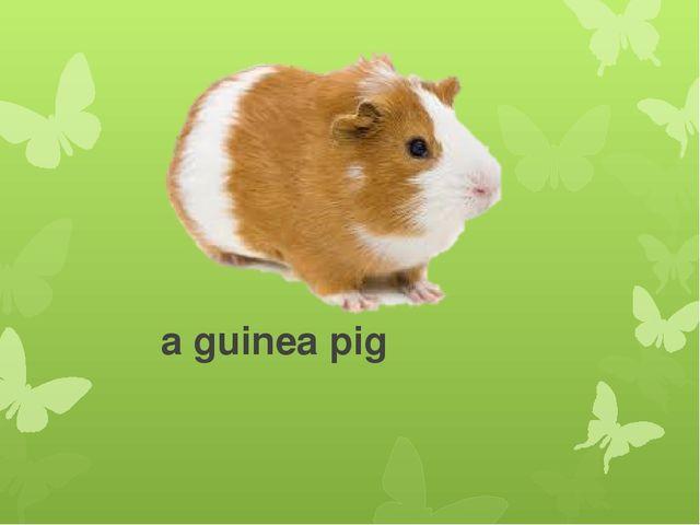 a guinea pig