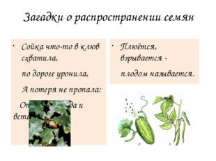 Загадки о распространении семян Сойка что-то в клюв схватила, по дороге урони