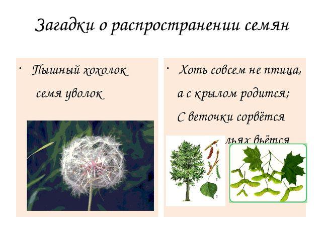 Загадки о распространении семян Пышный хохолок семя уволок Хоть совсем не пти...