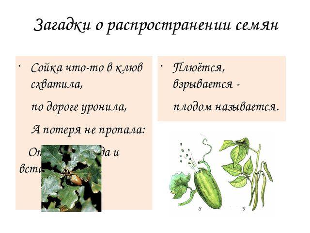 Загадки о распространении семян Сойка что-то в клюв схватила, по дороге урони...