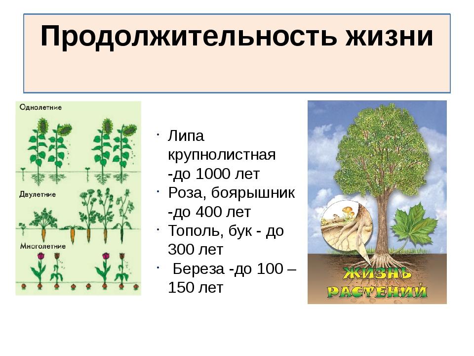 Продолжительность жизни Липа крупнолистная -до 1000 лет Роза, боярышник -до 4...