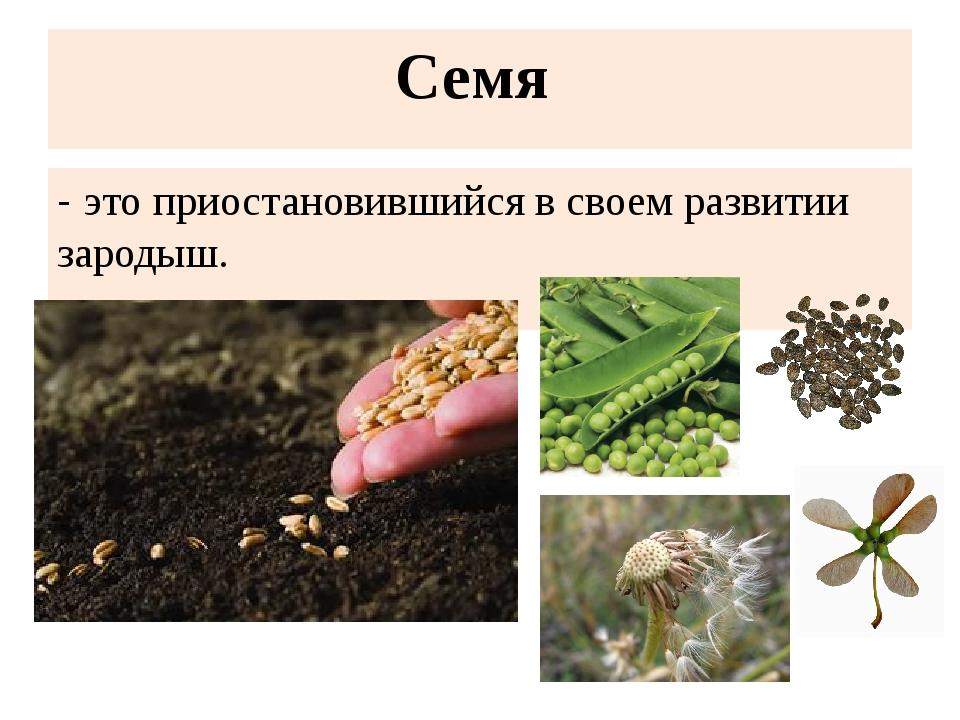 Семя - это приостановившийся в своем развитии зародыш.