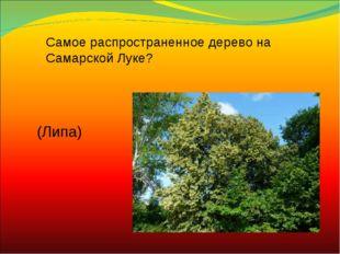 Самое распространенное дерево на Самарской Луке? (Липа)