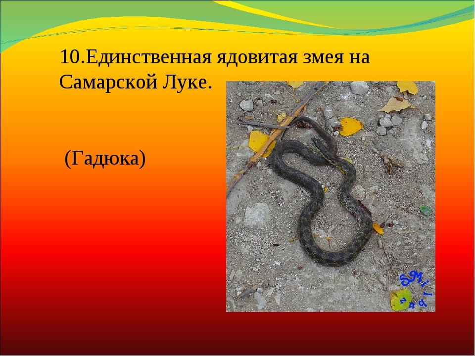 10.Единственная ядовитая змея на Самарской Луке. (Гадюка)