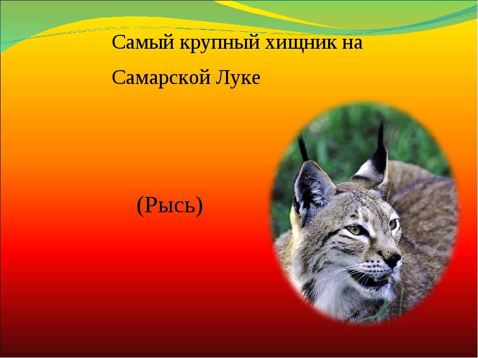 (Рысь) Самый крупный хищник на Самарской Луке