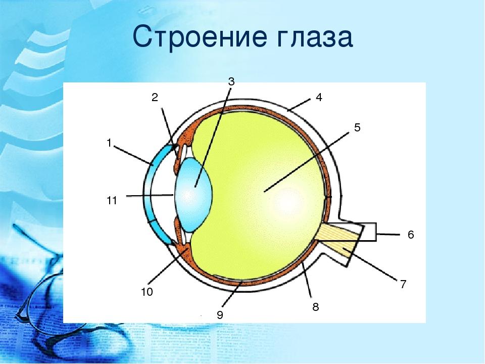 Схема строения глаза человека в хорошем качестве она