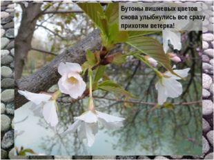 Бутоны вишневых цветов снова улыбнулись все сразу прихотям ветерка!