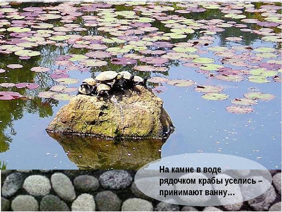 На камне в воде рядочком крабы уселись – принимают ванну…