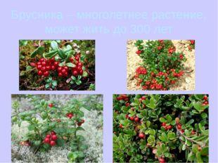 Брусника – многолетнее растение, может жить до 300 лет