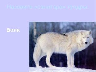 Назовите «санитара» тундры. Волк