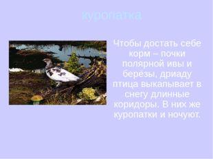 куропатка Чтобы достать себе корм – почки полярной ивы и берёзы, дриаду птиц