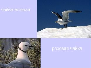 чайка чайка моевая розовая чайка