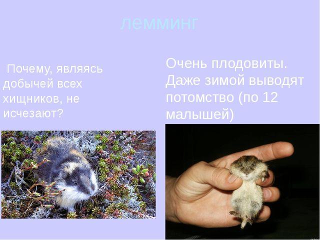 лемминг Очень плодовиты. Даже зимой выводят потомство (по 12 малышей) Почему,...