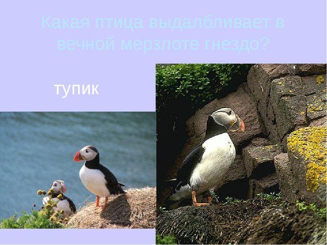 Какая птица выдалбливает в вечной мерзлоте гнездо? тупик