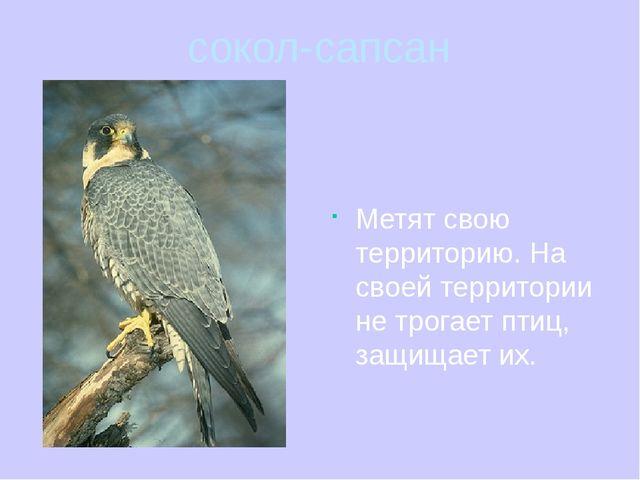 сокол-сапсан Метят свою территорию. На своей территории не трогает птиц, защи...