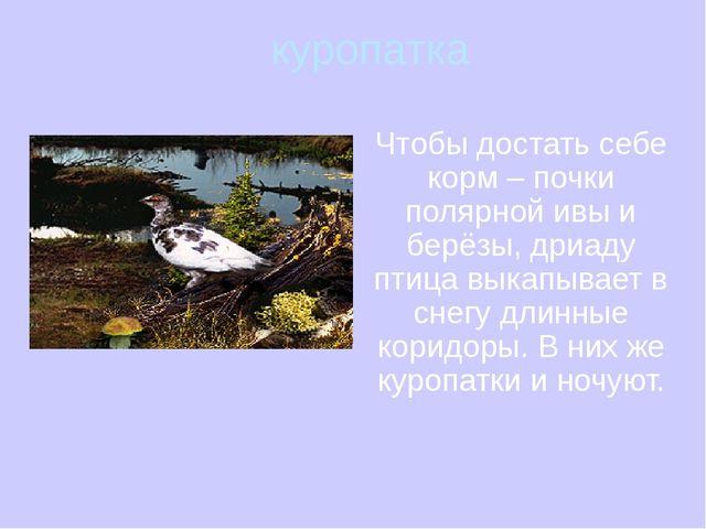 куропатка Чтобы достать себе корм – почки полярной ивы и берёзы, дриаду птиц...