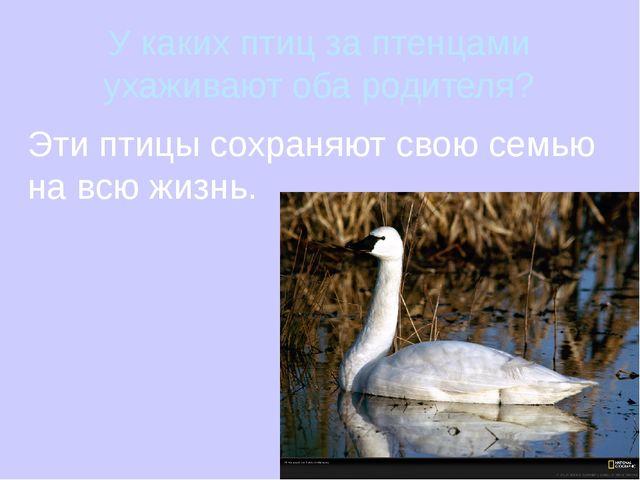 У каких птиц за птенцами ухаживают оба родителя? Эти птицы сохраняют свою сем...