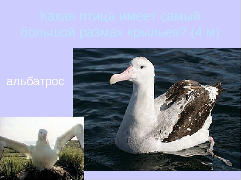 Какая птица имеет самый большой размах крыльев? (4 м) альбатрос