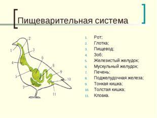 Пищеварительная система Рот; Глотка; Пищевод; Зоб; Железистый желудок; Мускул