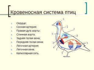 Кровеносная система птиц Сердце; Сонная артерия; Правая дуга аорты; Спинная а