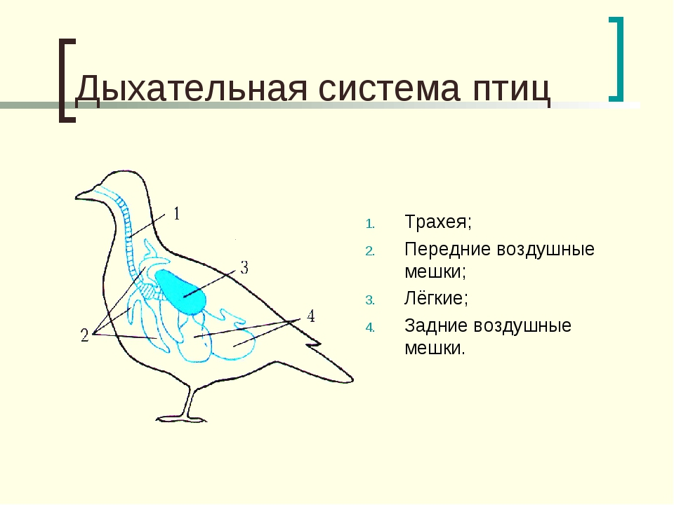 Дыхательная система птиц Трахея; Передние воздушные мешки; Лёгкие; Задние воз...
