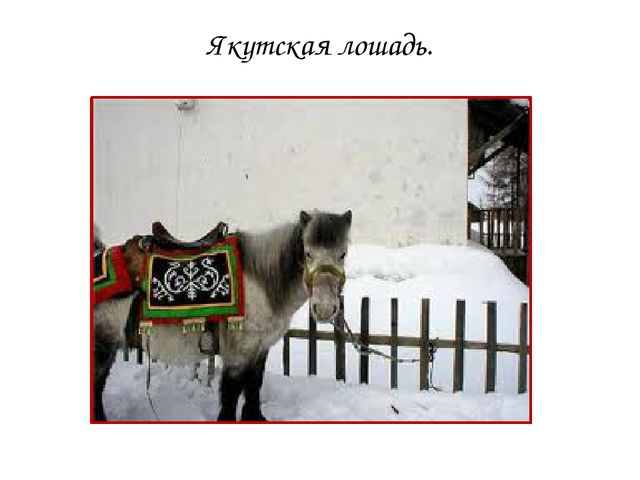 Якутская лошадь.