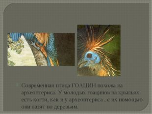Современная птица ГОАЦИН похожа на археоптериса. У молодых гоацинов на крылья