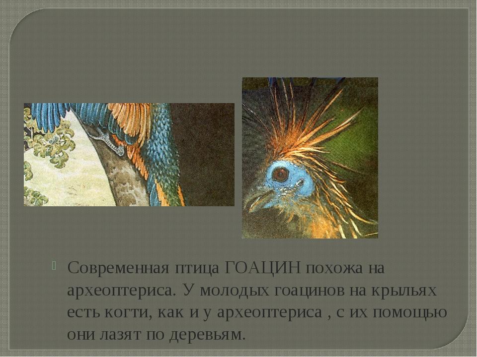 Современная птица ГОАЦИН похожа на археоптериса. У молодых гоацинов на крылья...