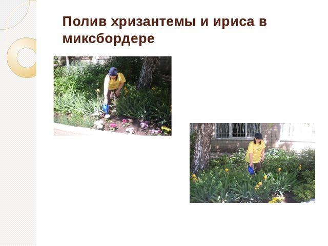 Полив хризантемы и ириса в миксбордере