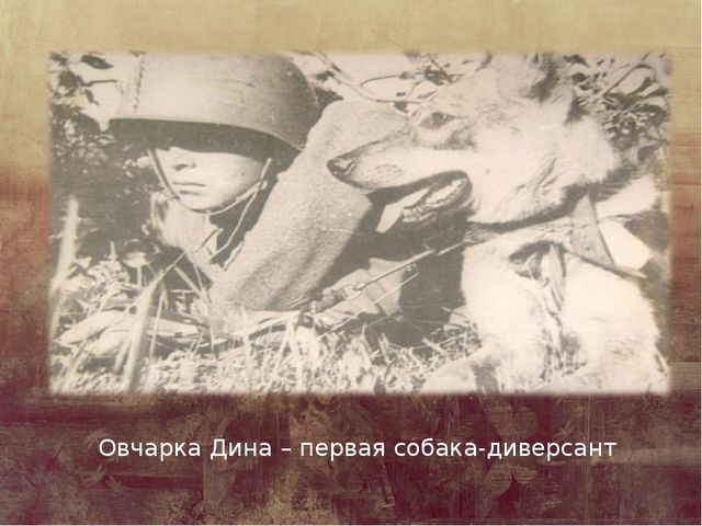 Овчарка Дина – первая собака-диверсант