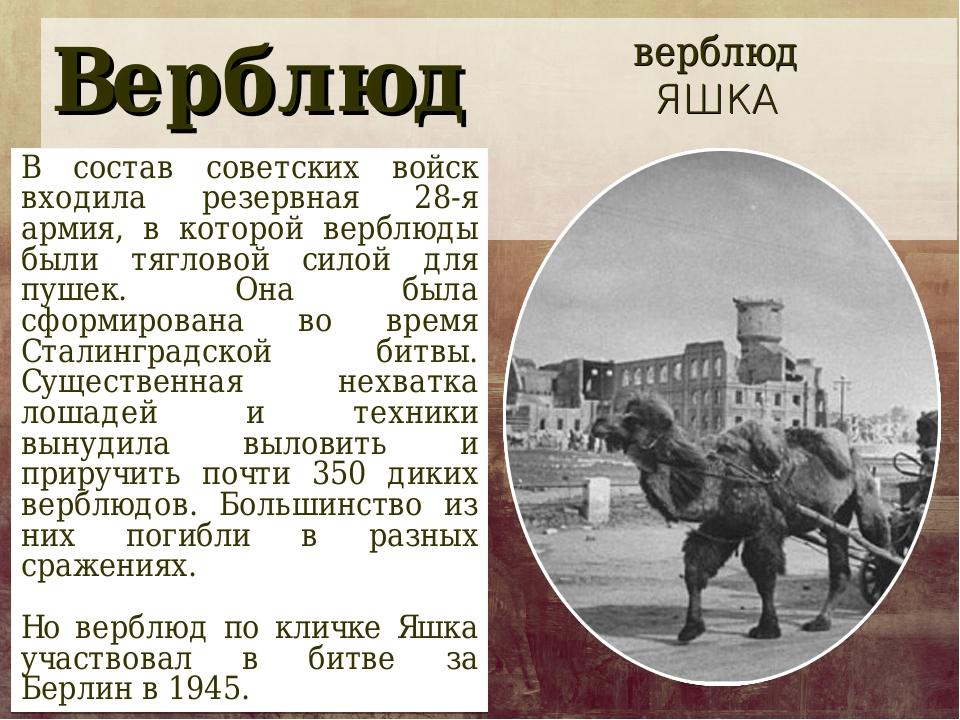 Верблюд В состав советских войск входила резервная 28-я армия, в которой верб...